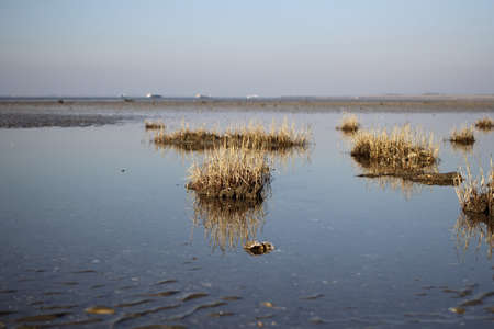 pieces of grass in the water or the marsh along the western scheldt in holland in winter