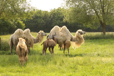 a camel family with young camels in a green meadow in springtime at a biological farm in zeeland, the netherlands