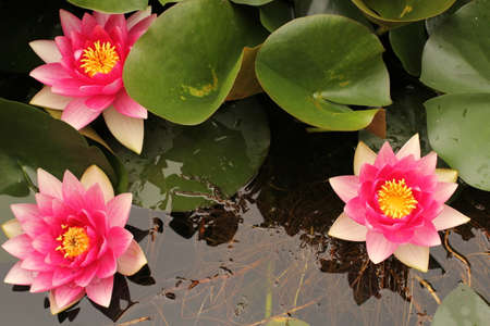 three waterlilies with green leaves in a pond in springtime