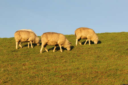 three white sheep are grazing at a green meadow and a blue sky in winter