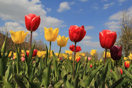 beautiful yellow and red tulips in the flower garden in holland in springtime at a sunny day with a blue sky with clouds