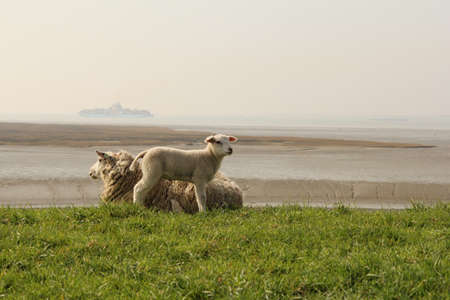 a sweet little lamb stands besides his mother sheep at the green grass of the seawall of the westerschelde sea in zeeland, the netherlands in springtime with the beach and a ship in the background