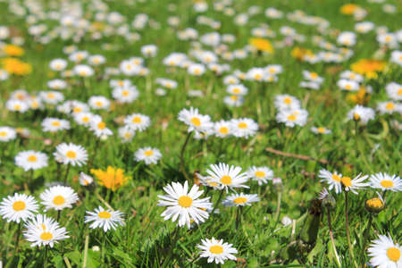 a green meadow closeup with a lot of blooming white daisies and dandelions in springtime