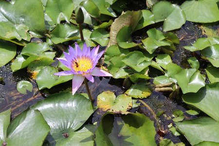 Lotus flower blooming on green leaves and water surface closeup in the pond.