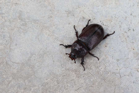 Coconut rhinoceros beetle crawling slowly isolated on cement flooring background closeup.