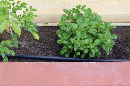 Green watercress growing from drip irrigation system in soil closeup.