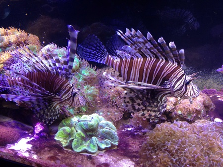 Lion fish at the Aquarium. They are very poisonous fish  Imagens