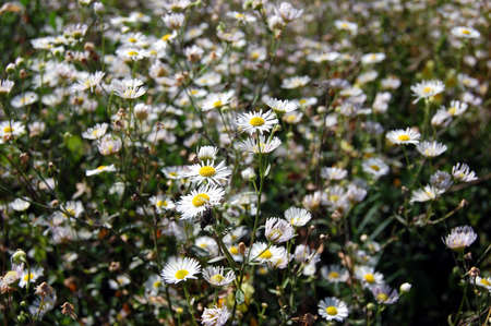 field with camomile as a background Stock Photo - 1778342