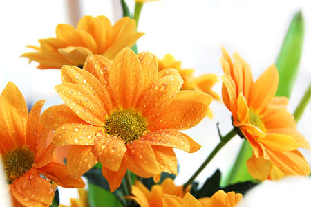 Bunch of orange chrysanthemum with water drops
