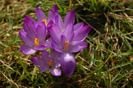 Bouquet of violet crocus over green grass Stock Photo - 2705155