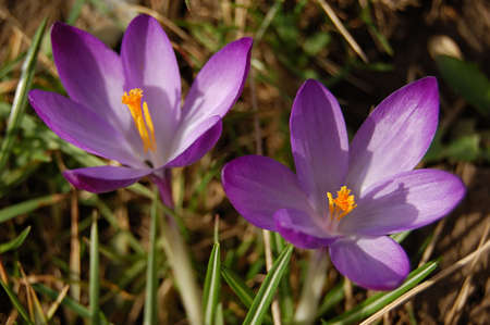 two violet crocus over green grass Stock Photo - 2705153