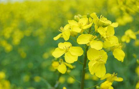 oilseed: Rape oilseed flower over blooming field Stock Photo