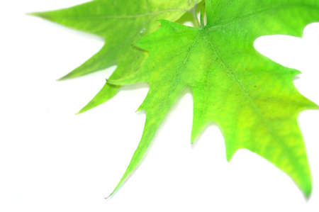 green autumn leaves isolated on white Stock Photo - 3476095