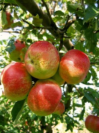 ripen: bunch of ripen red apple on branch