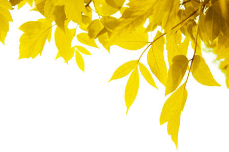 frame of yellow leaves isolated on white Stock Photo - 3563731