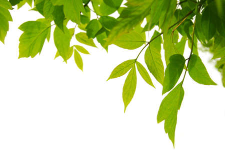 frame of green leaves isolated on white