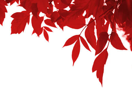 frame of red leaves isolated on white Stock Photo - 3589145