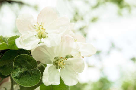 closeup of apple blossoms branch Stock Photo - 4083604