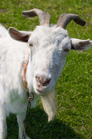 Curious white goat over green grass photo