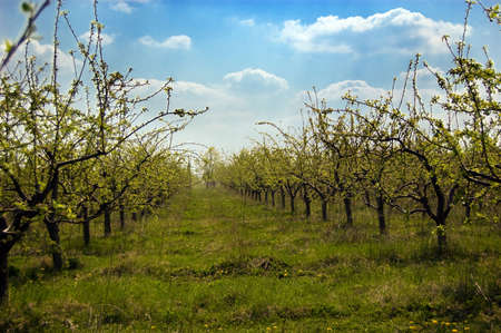 Rows of green apple trees before blooming in spring Stock Photo - 4762722