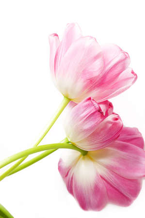 Some opened pink tulips over white with its back photo