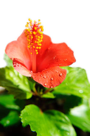 Red hibiscus blooming with water drops photo