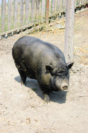 Dirty Vietnamese pig on country yard Stock Photo - 5447091