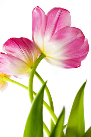 some opened pink tulips over white photo