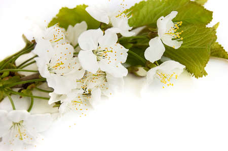 Spring cherry branch over white Stock Photo - 6853466
