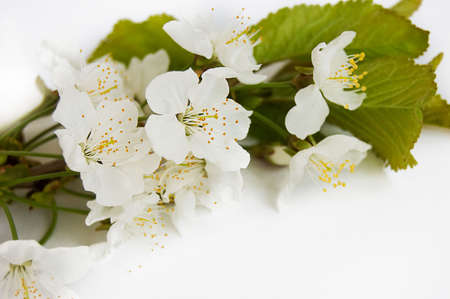 Spring cherry branch over white Stock Photo - 6853471
