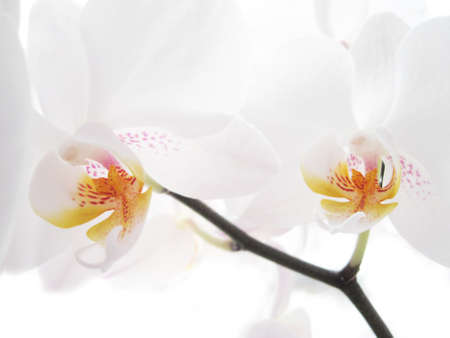 Two white orchids on white Stock Photo - 8997246
