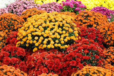 Many colourful chrysanthemum as background photo