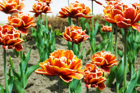 Red tulips growing in the flowerbed Stock Photo - 11807506