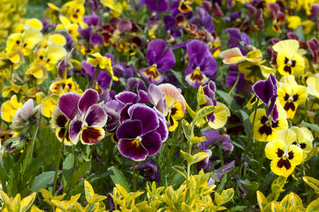 Yellow and violet field pansy flowerbed Stock Photo - 11807512