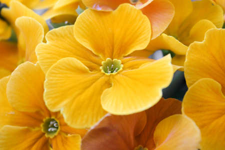 cowslip: Yellow primula flowers Stock Photo