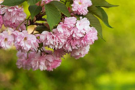 Japanese sakura blossom in sunny spring day Stock Photo - 13503549