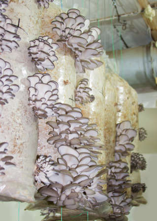 soilless cultivation: Oyster mushrooms cultivation on the plastic bag with mycelium