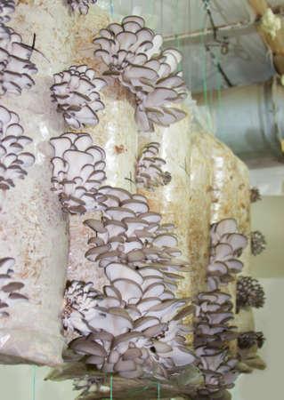 mycelium: Oyster mushrooms cultivation on the plastic bag with mycelium