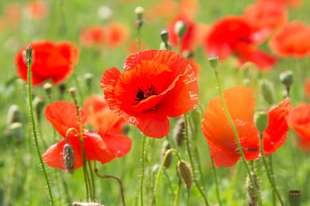 Some poppies on green field in sunny day photo