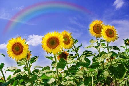 Sunflowers field with rainbow over blue sky