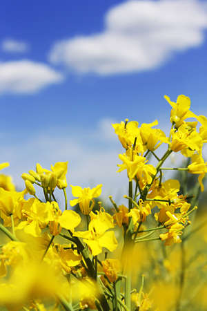 Rapeseed field flowers and blue sky with clouds photo
