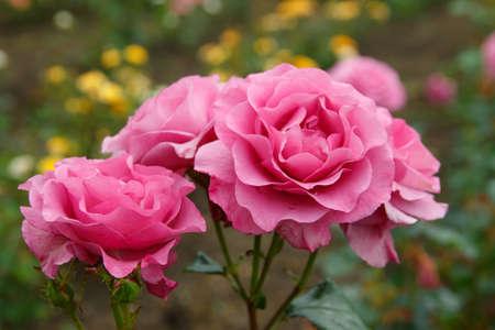 緑の背景のピンクのバラは 3 つ
