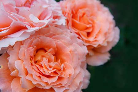 Three orange roses on green background Stock Photo
