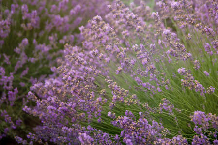 Lavender floral background sunlit in summer