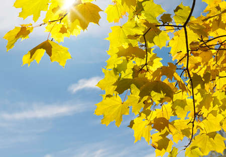 Yellow maple leaves against the background of blue sky.