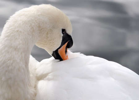 Beautiful white swan by closeup. photo