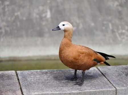 Casarca ferruginea- red duck.