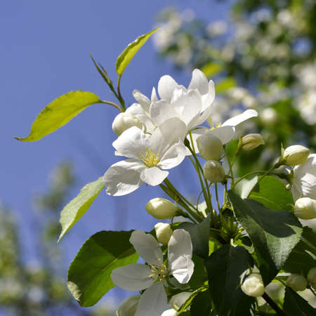 White flowers against the background of blue sky.