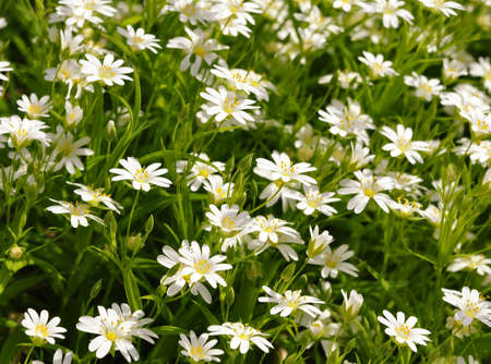 White flowers against the background of green grass.