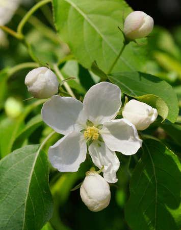 White flowers of apple tree.